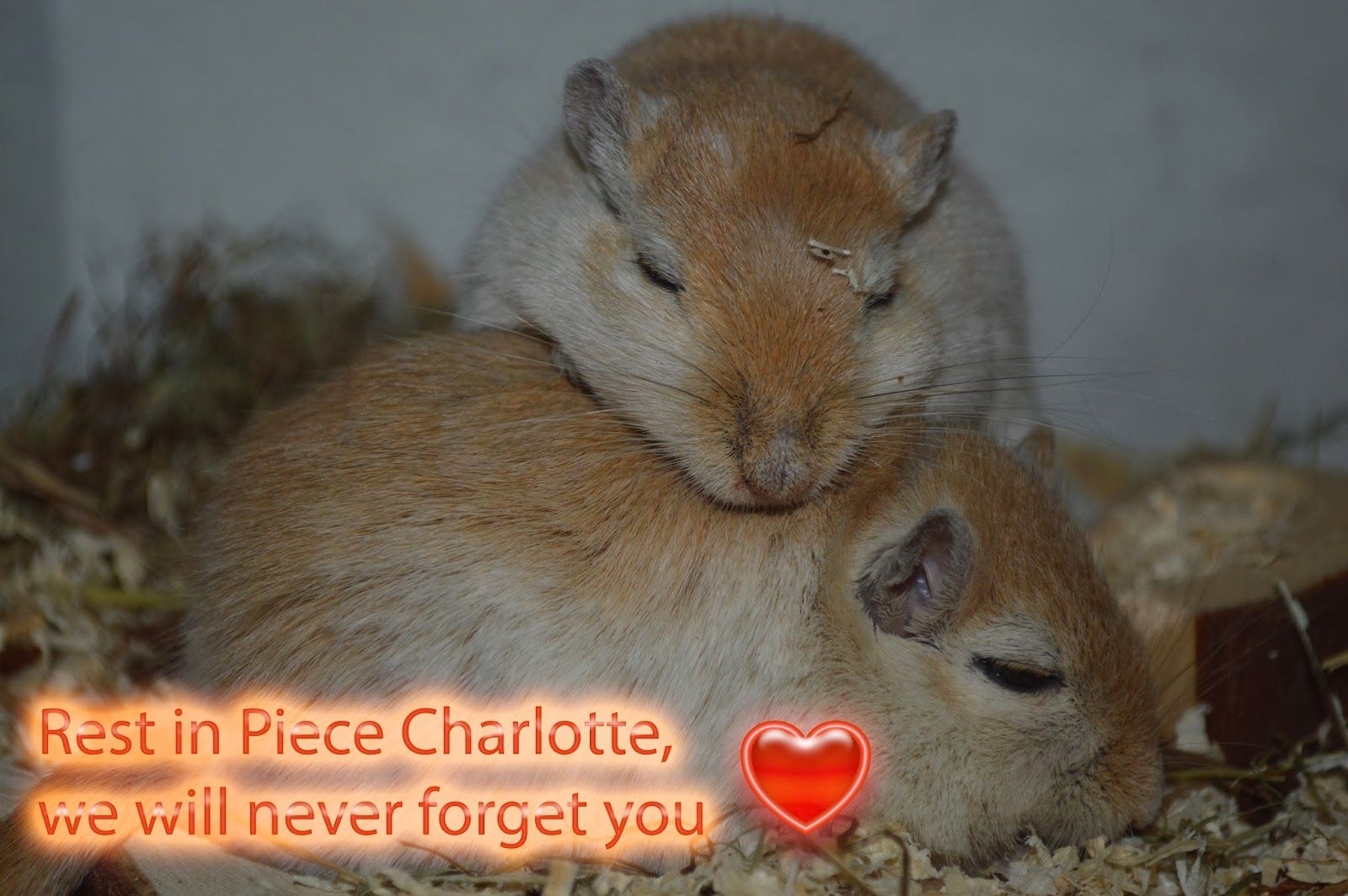 Today i am off cause my little gerbil Charlotte died last night and i had so much to do... i will answer comments and likes tomorrow, when i am Online again, today was to much for my pets, my husband and me.   http://kaninchenfanlucky-meinkaninchenloch.blogspot.de/2014/02/rest-in-piece-charlotte-we-will-never.html