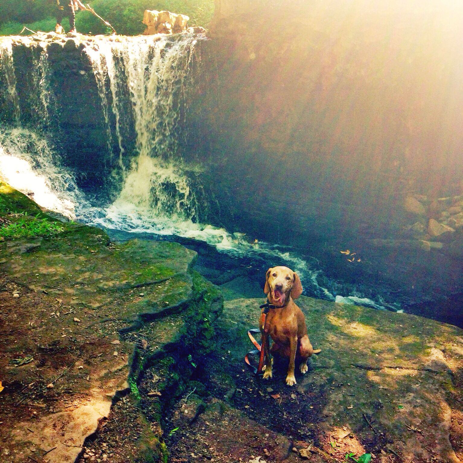 Vizsla Our Ginger Loves The Trails In Zukor Park New City Ny