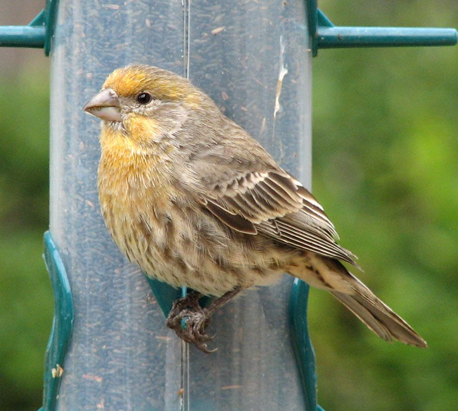 Gallery For Female Yellow House Finch Yellow Finch Yellow Houses Backyard Birds