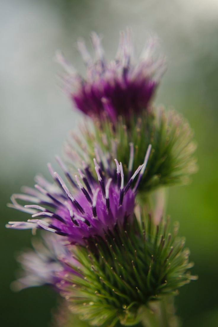 Pin by Gadriels Stories on BraveHeart Scottish flowers