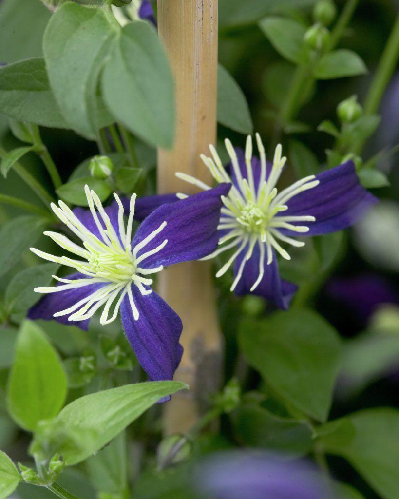 Clematis aromatica Rückschnittgruppe: 3 Blüte: Juni bis August