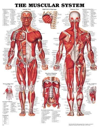 human muscular system diagram - health, medicine and anatomy, Muscles
