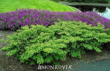 yew emerald spreader evergreen