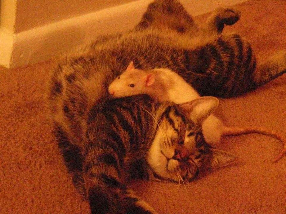 Cat & mouse... correction rat