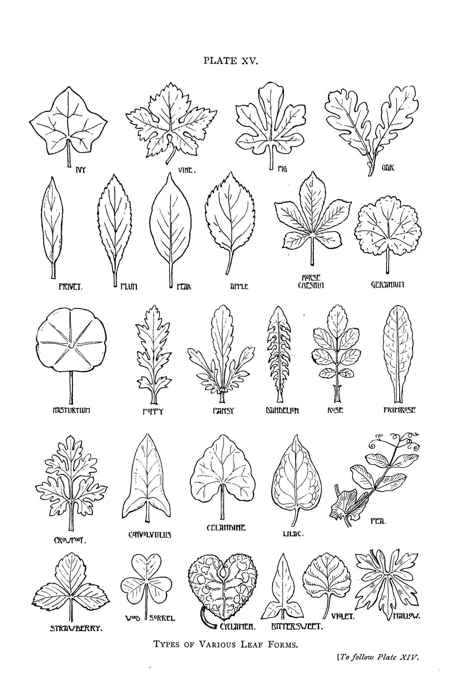 botanical leaf shapes trees pinterest leaves nature