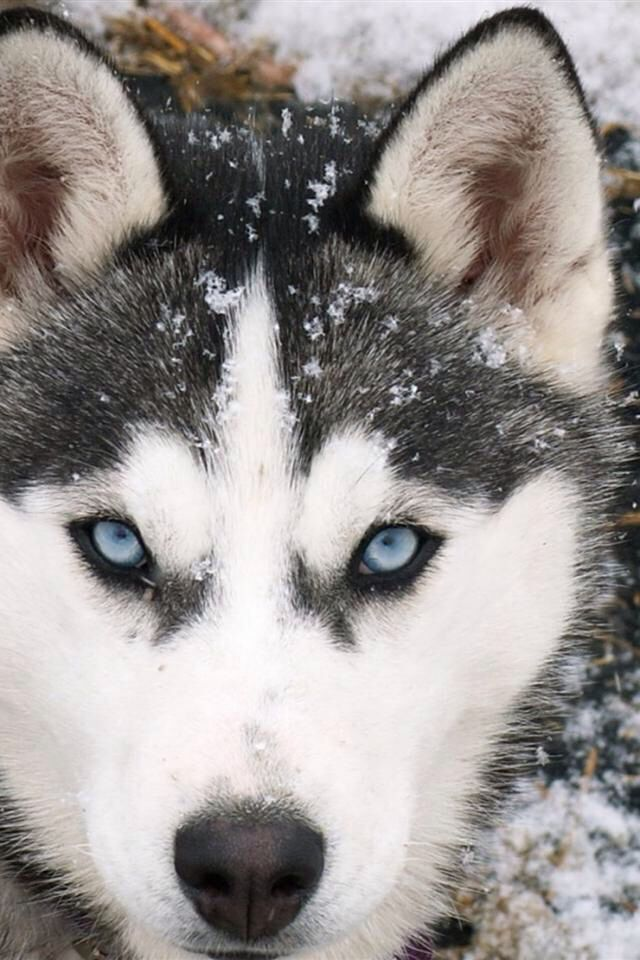 This is a huskey