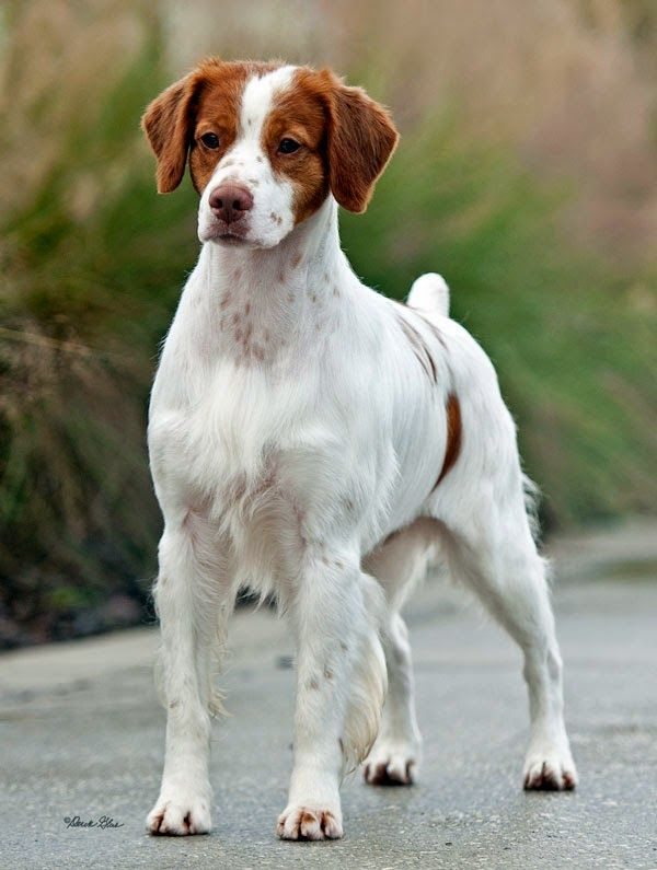Pin By Scot Leach On My Next Dog Brittany Spaniel Dogs