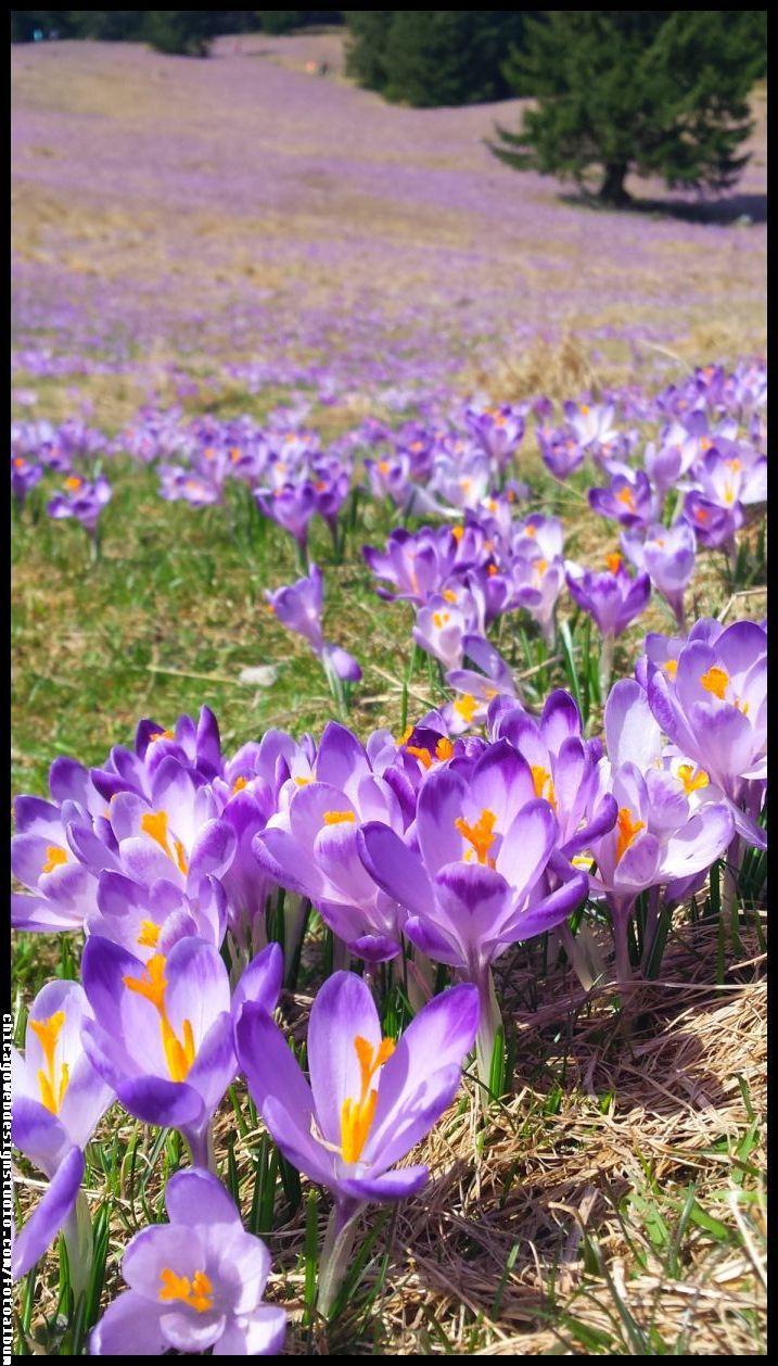 Dolina Chocholowska Krokusy Beautiful Flowers Crocus Flower Flower Field
