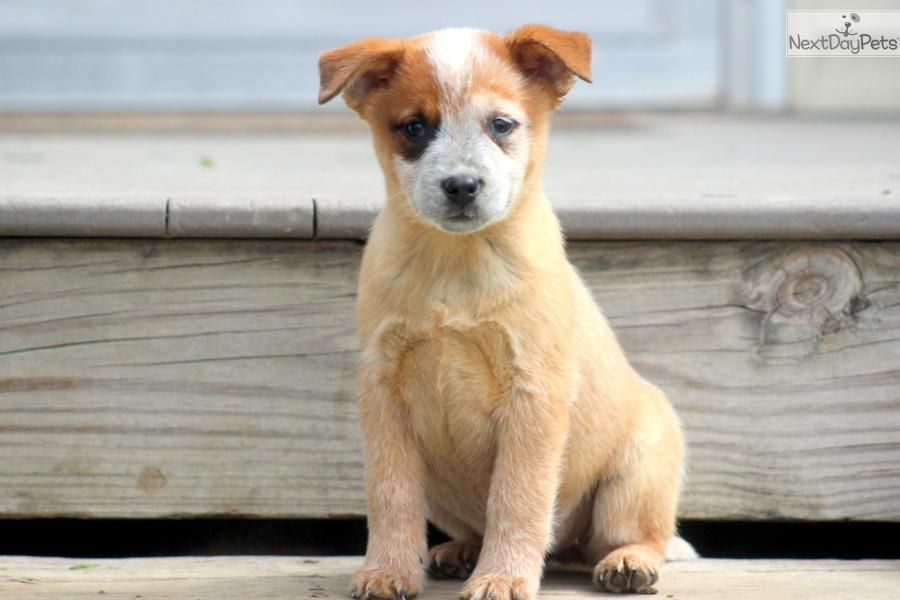 Sophie Red Heeler Female Australian Cattle Dog Red Red Heeler Puppies Australian Cattle Dog