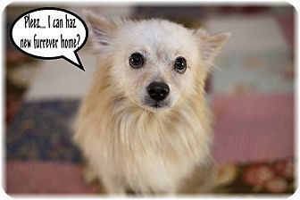 Dallas Tx Pomeranian Meet Cashew A Dog For Adoption W Recycled