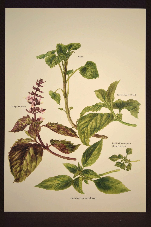 Basil Print Kitchen Herb Wall Decor Art Garden Herbs Spices ...