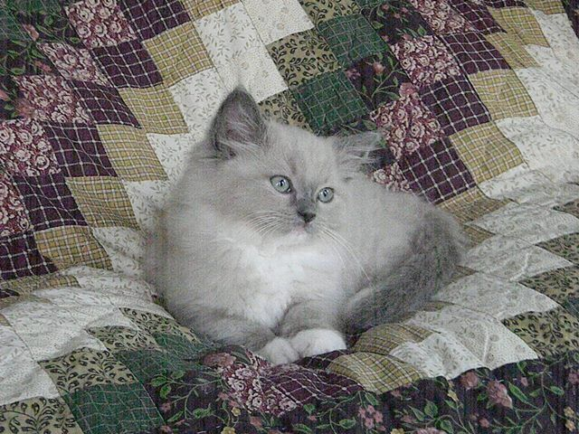 Love Ragdolls Lilly Blue Mitted Mink Female Ragdoll Ragdoll Kitten For Sale Ragdoll Kittens For Sale Ragdoll Kitten Kittens