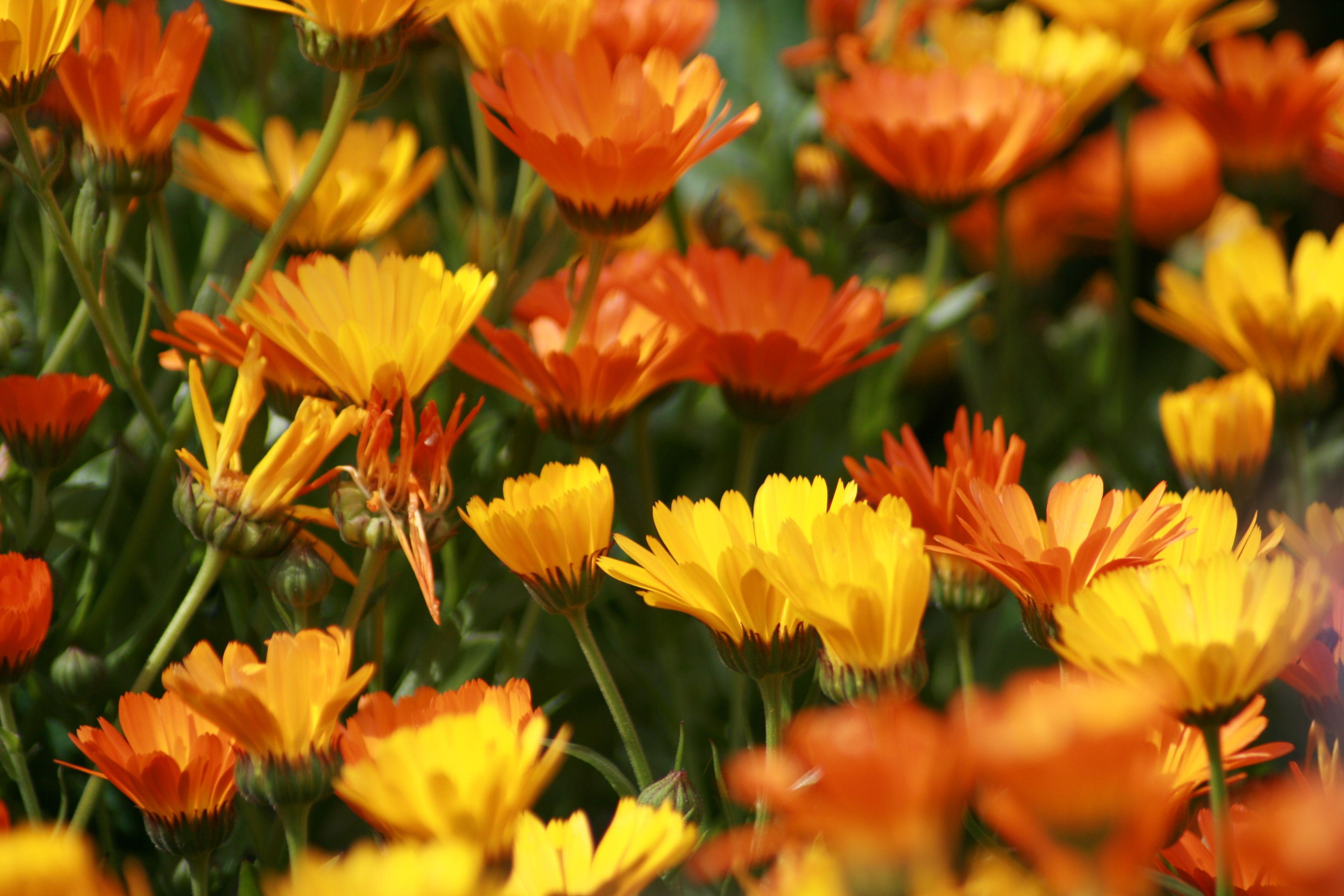 Flowers of Switzerland (With images) Dream garden