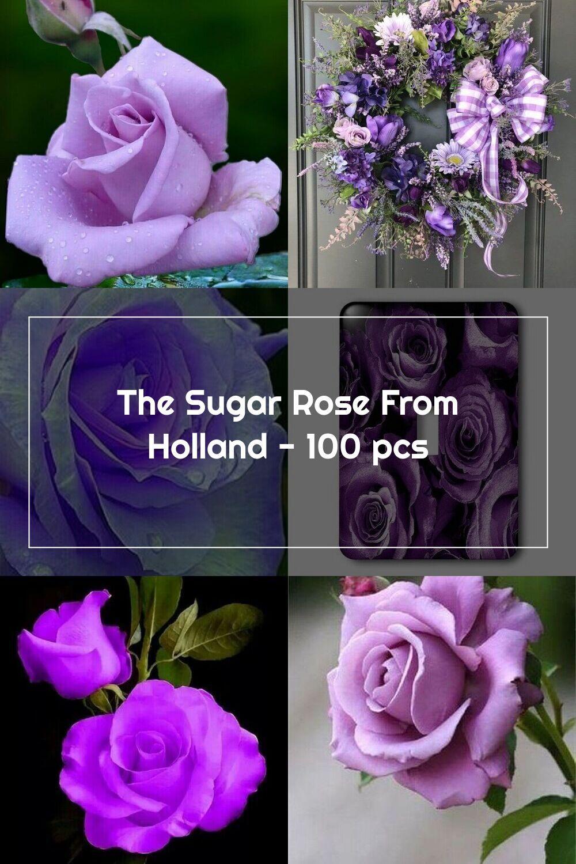 The Sugar Rose From Holland 100 Pcs Jala Noor Internationally Sourced In 2020 Sugar Rose Rose Purple Roses