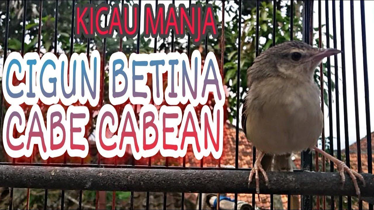 Cigun Betina Gacor Cuit Cuit Memanggil Jantan Betina Burung Kecil