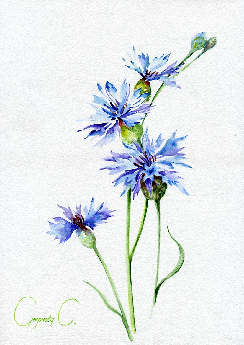 Cornflower Blue Flowers Watercolor Original Painting From The