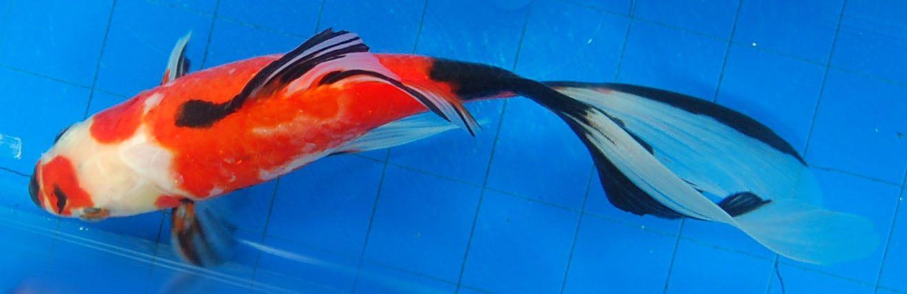 Goldfish - Top view of Sanke-like Shubbie | Goldfish