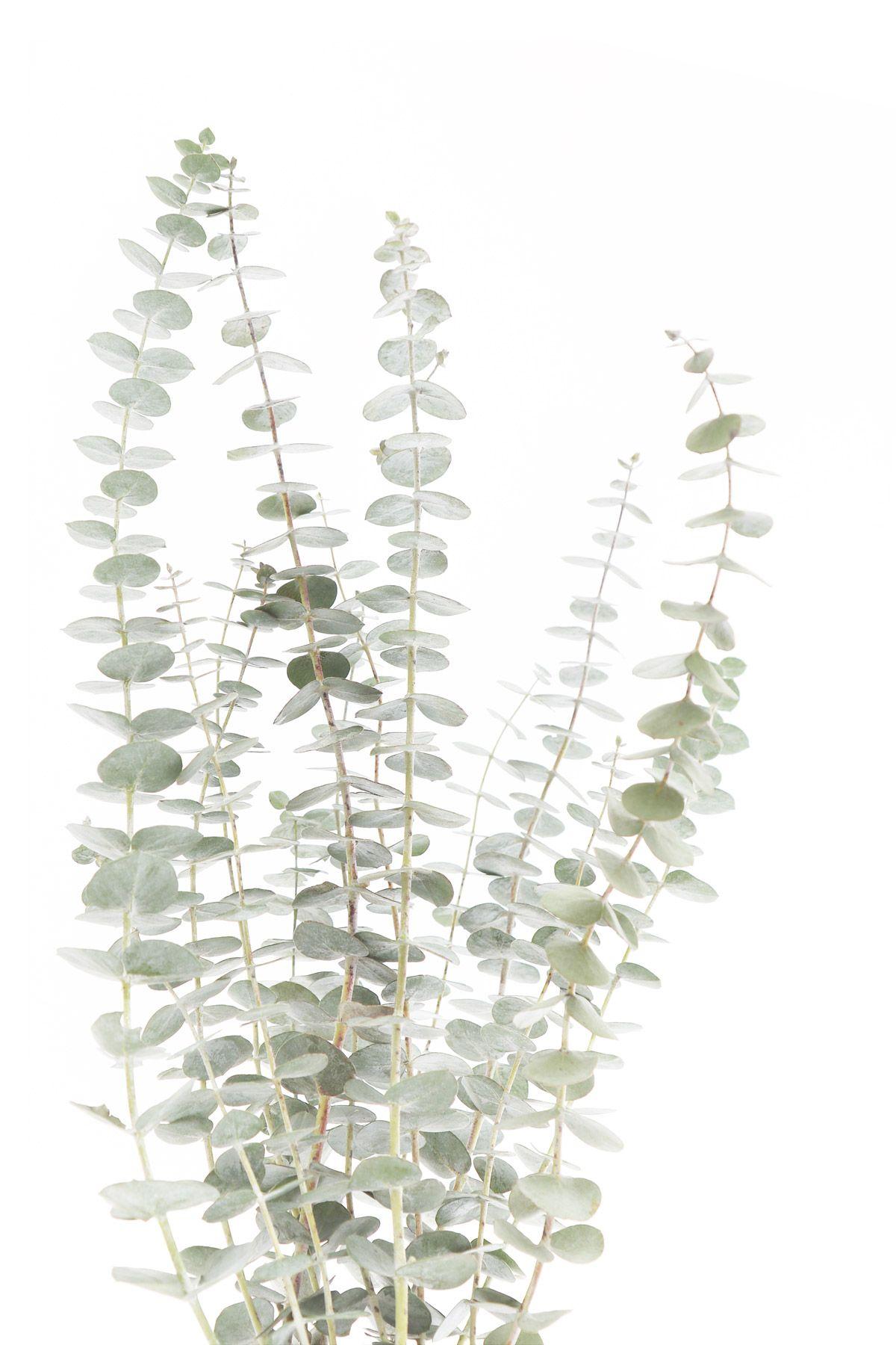 eucalyptus | STILL (mary jo hoffman) | Plant art ...