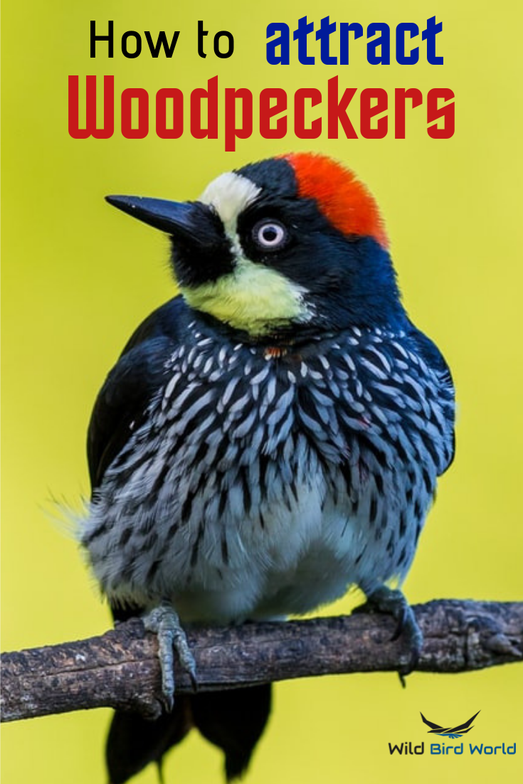 How To Attract Woodpeckers To Your Yard Attract Wild Birds