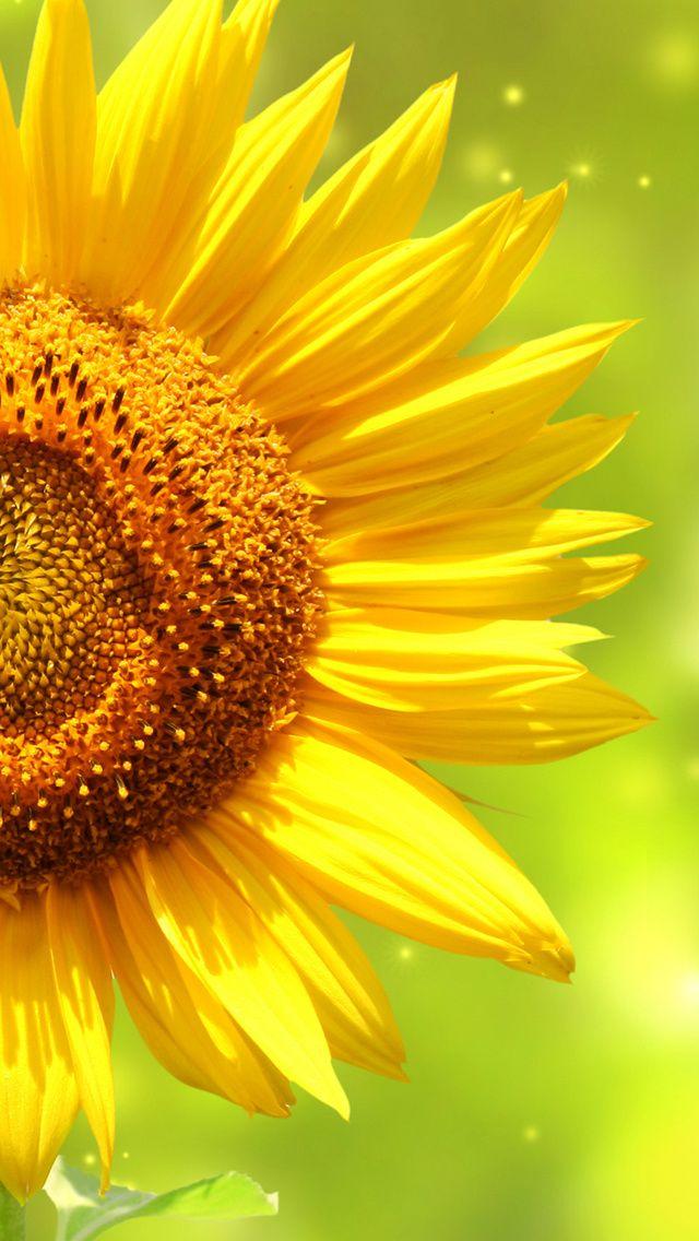 Sunflowers Flowers Sunset Sky Splendor Petals Nature Field Clouds Free Desktop Wallpaper Sunflower Wallpaper Sunflower Pictures Cloud Wallpaper