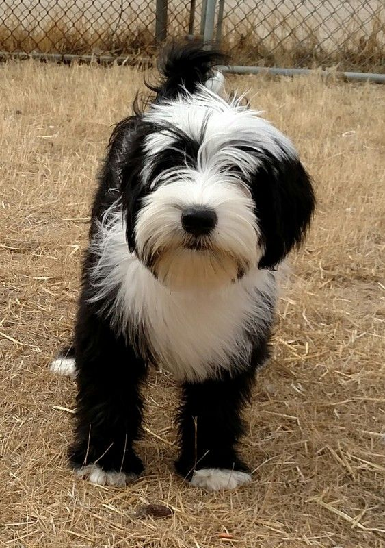 Rinchen Tibetan Terriers Rinchen Tibetan Terrier Puppies Available In 2017 Tibetan Terrier Terrier Breeds Terrier Puppies