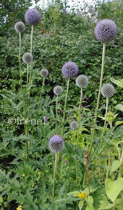Blomster-tips: Perenna blommor