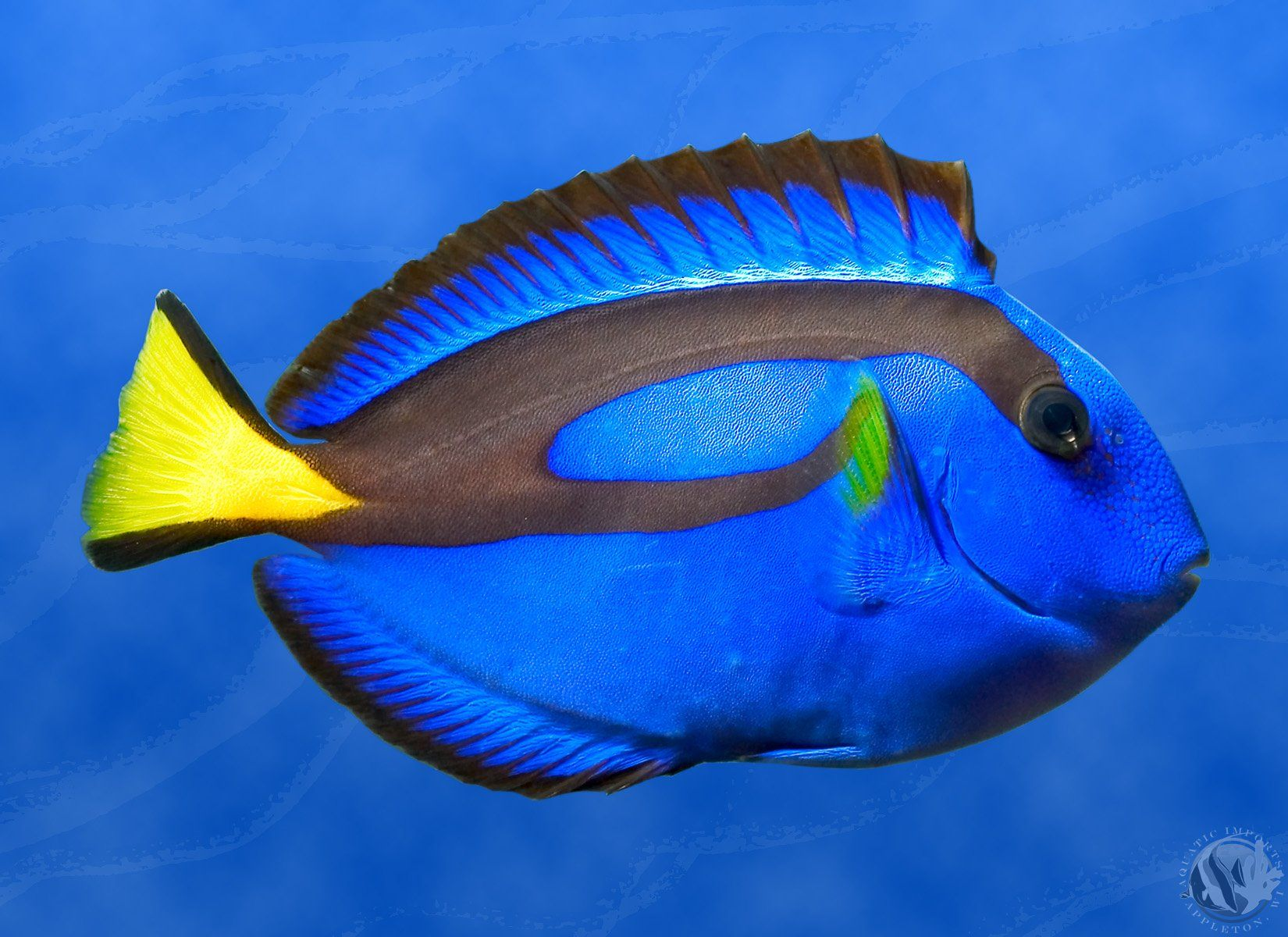 blue tang a popular fish in marine aquaria a number of