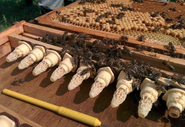 Raising Queen Bees | Dr Chris Vernon | Bee keeping, Queen ...