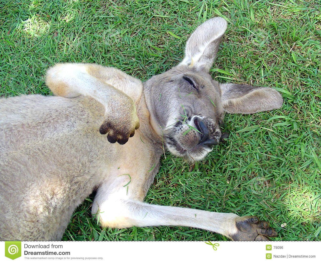 Sleeping Kangaroo Royalty Free Stock Image Image 79096 Kangaroo Image Sleeping Animals Animals Images