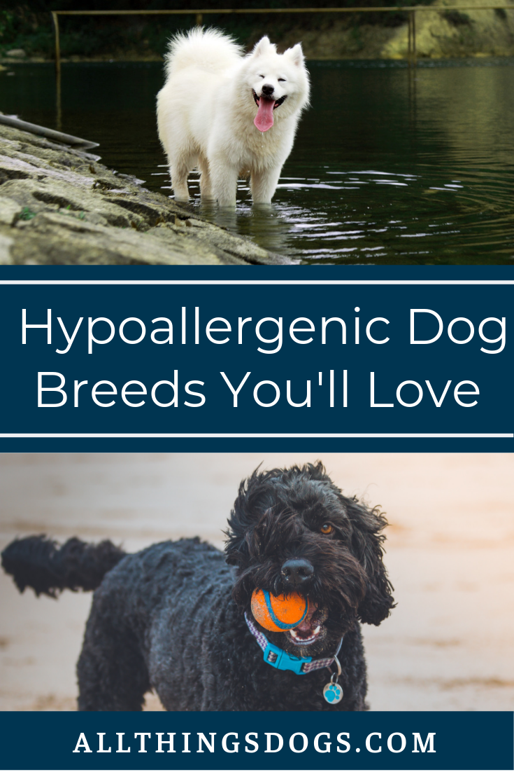 Hypoallergenic Dog Breeds In 2020 Hypoallergenic Dog Breed Hypoallergenic Dogs Mixed Breed Dogs