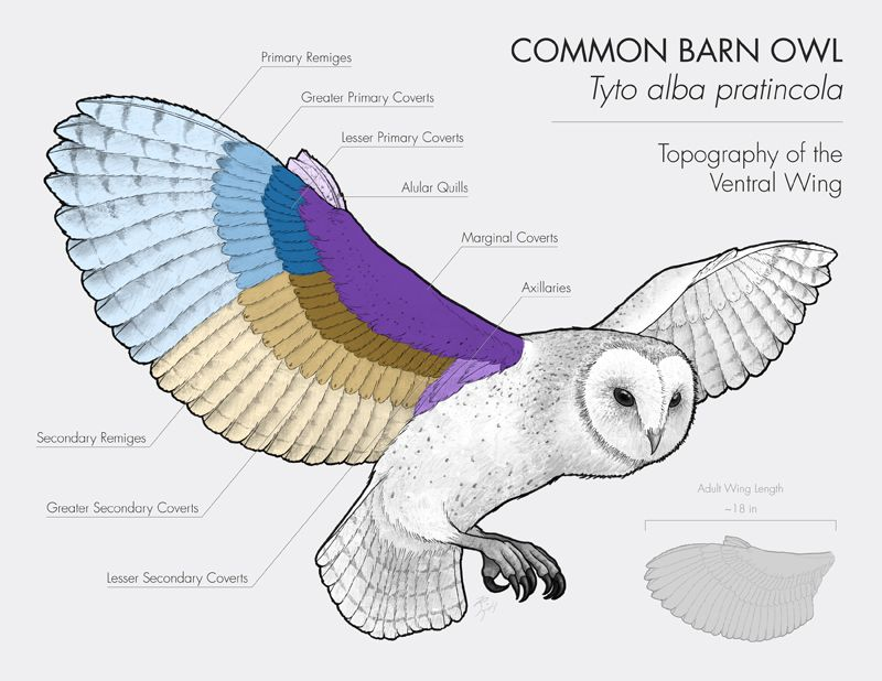 barred owl wing anatomy - Google Search | All about Owls | Pinterest ...