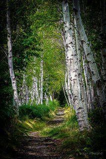 Birch Path | by Ken Rowland