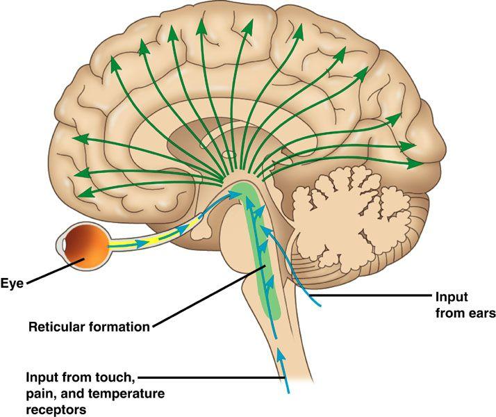 reticular formation - Google zoeken | geneeskunde | Pinterest ...