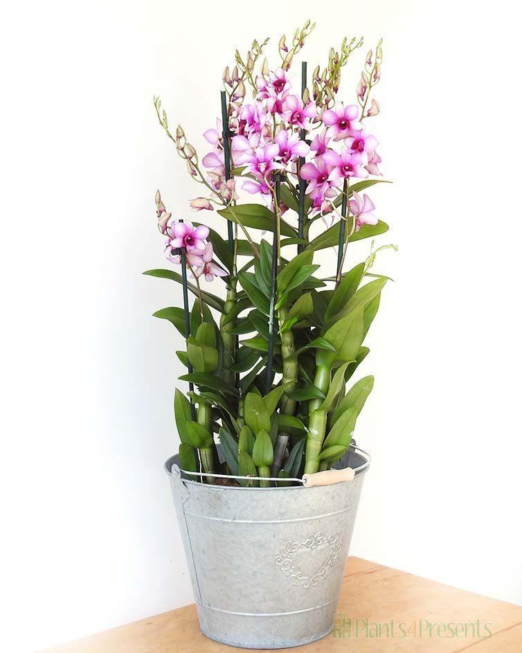 Giant Dendrobium Orchid Dendrobium Orchids Orchids Indoor Plants