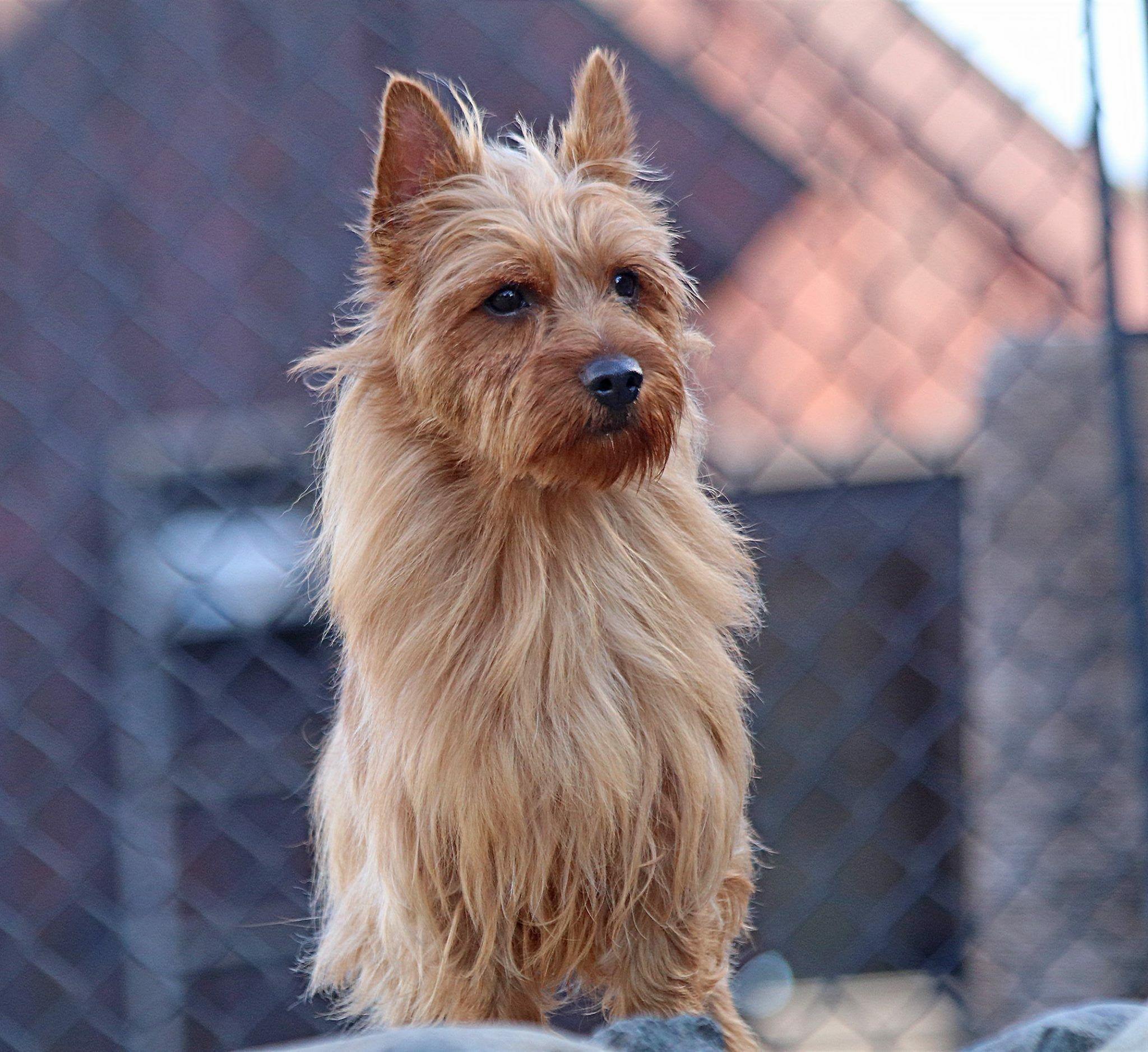 Pin By Joann Montgomery On Australian And Silky Terrier