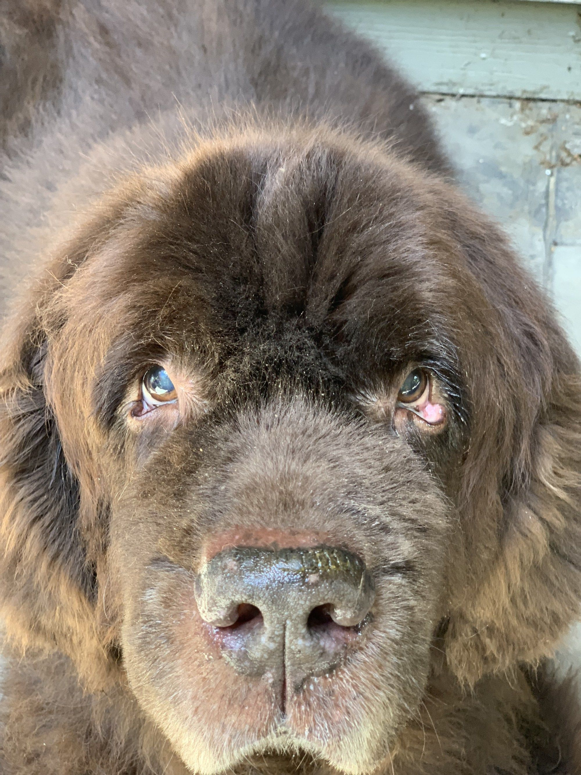 Using The Nilf Training Approach For Your Newfoundland Dog Training Positive Dog Training Dog Obedience
