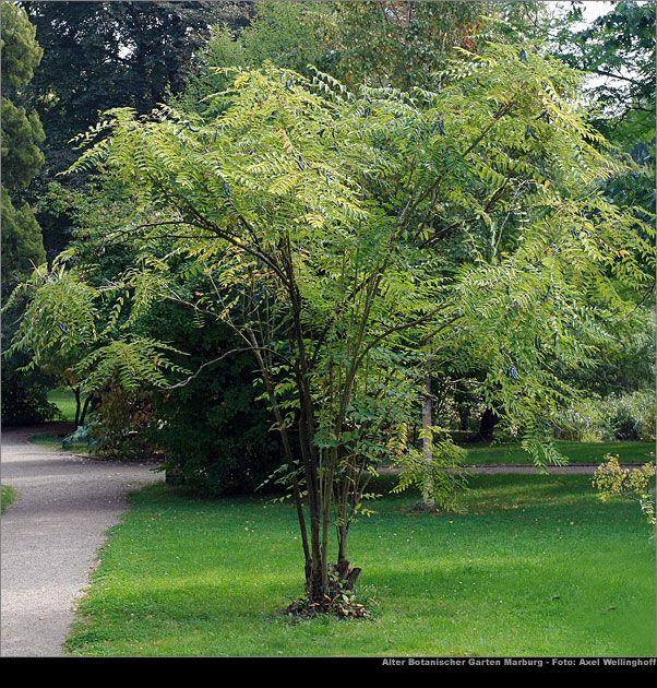 Decaisnea Fargesii Idees Jardin Arbuste Decoratif Arbuste