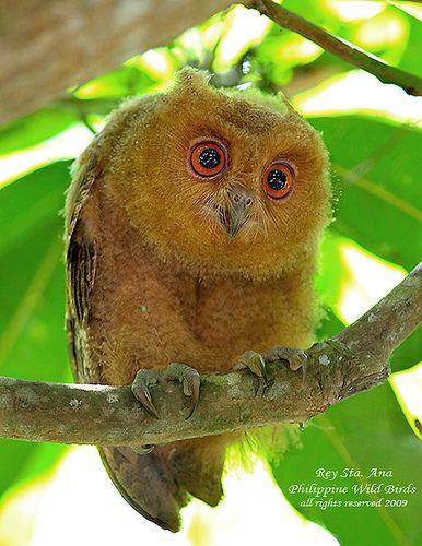Philippine Scops-Owl (Immature)