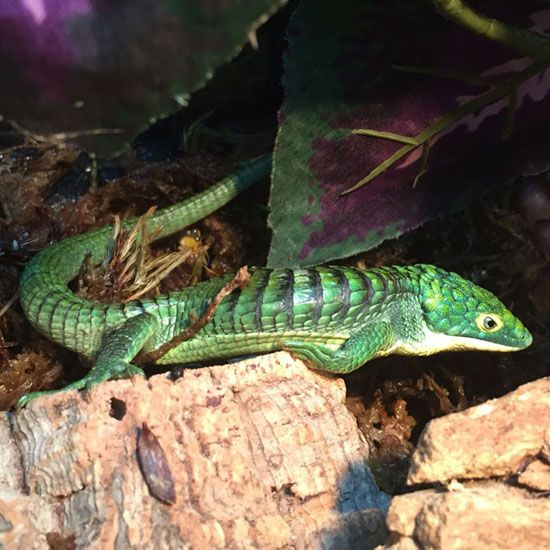 mexican alligator lizard captive bred young adult male