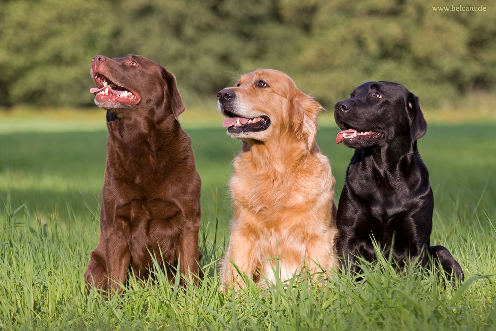 Labrador Retriever Und Golden Retriever Labrador Retrievers Schwarzer Labrador Retriever Labrador Retriever
