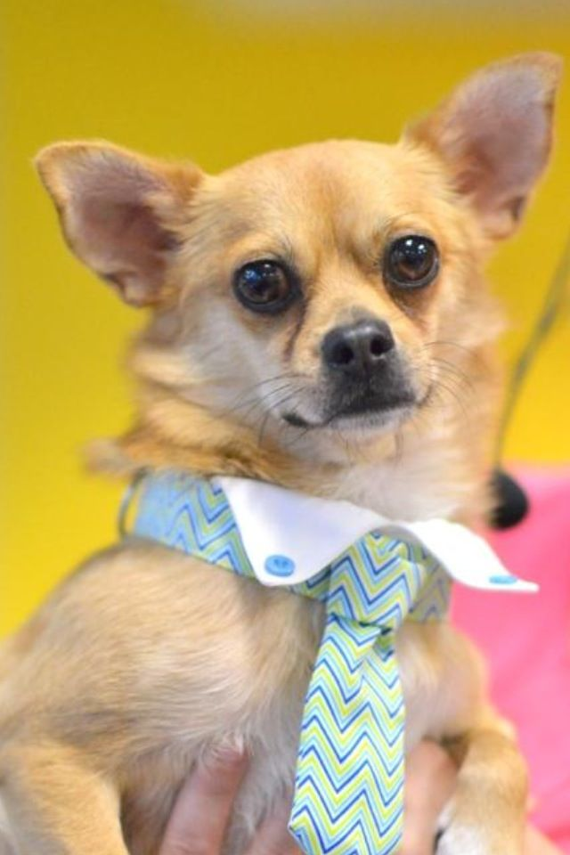 Enzo The Chihuahua Always Comes To Work Dressed For Success With