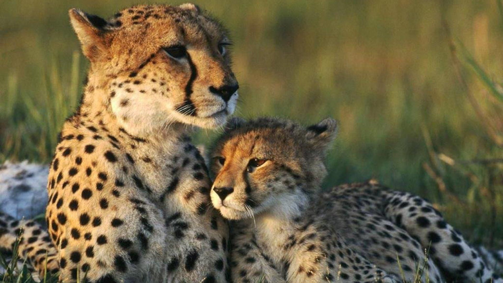 Nice cheetah her cub wallpaper check more at httpwww nice cheetah her cub wallpaper check more at httpfinewallpapers voltagebd Image collections
