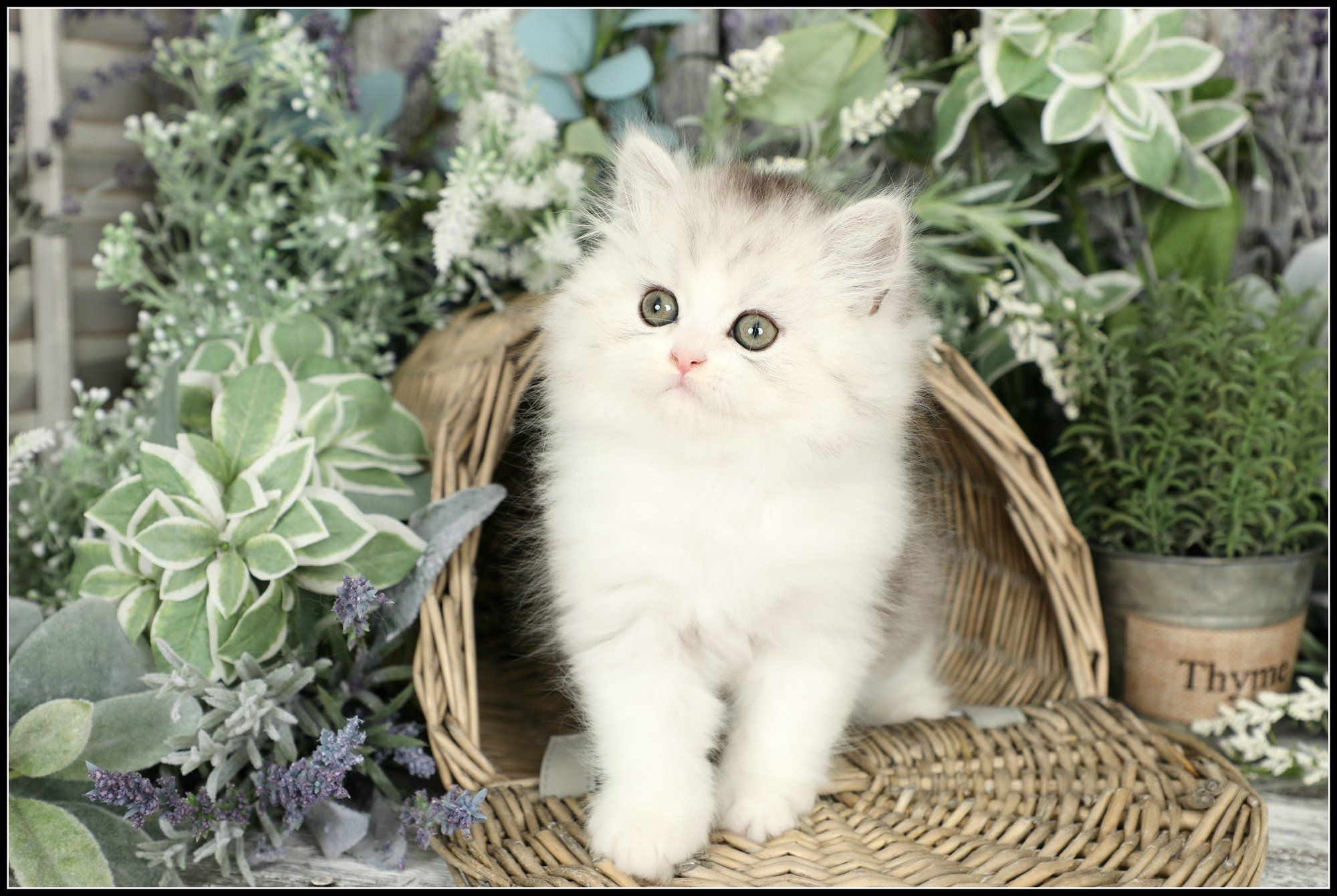 Aiden Silver and White Doll Face Persian Kitten