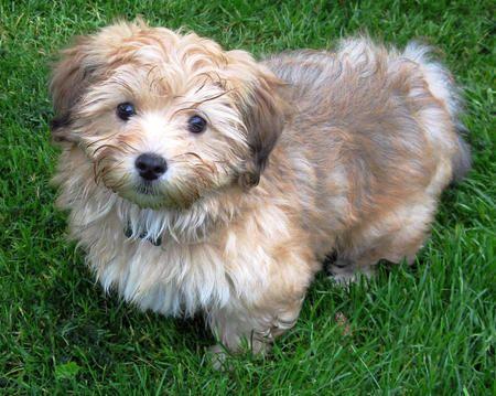 Rupert The Havanese Cute Puppy Names Puppies Havanese