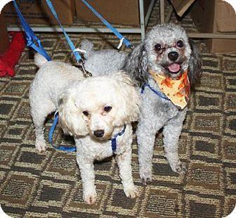 Southeastern Pa Poodle Miniature Mix Meet Chewy And Sheldon
