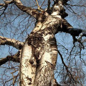 amazing tree woman