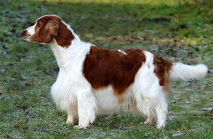 Welsh Springer Spaniel Dog Breed Profiles Dog Breeds Welsh