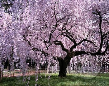 Weeping Cherry Tree Need This For My Yard With Images
