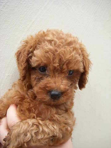 Free Dogs For Sale Poodles Toy Poodle Puppies For Sale Adoption From Johor Sekudai Adpost Com Toy Poodle Puppies Poodle Puppies For Sale Poodle Puppy