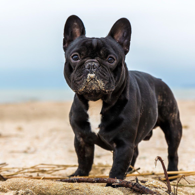 Carlton Pascalk Kiszon French Bulldog Puppies French